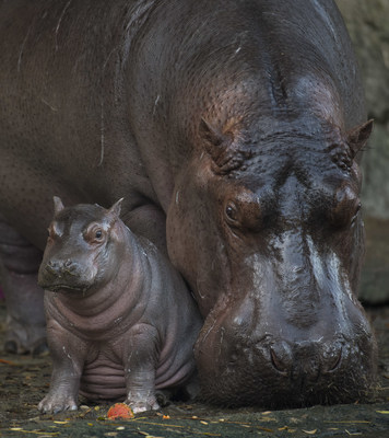 Baby Hippo Born at Disney's Animal Kingdom is a Boy! On February 21, 2018, Walt Disney World Resort revealed news about a baby Nile hippopotamus born last month at Disney's Animal Kingdom in Lake Buena Vista, Fla. Disney announced that the hippo calf is a boy, and his name is Augustus. Weighing in at 168 pounds, Augustus is the first hippo born at the park in 13 years. He is often seen close to his mom, Tuma, and is winning over guests on the theme park's Kilimanjaro Safaris attraction and Wild Africa Trek experience.